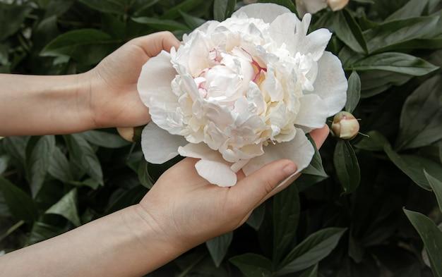 Le mani dei bambini tengono in mano un fiore di peonia che cresce su un cespuglio.