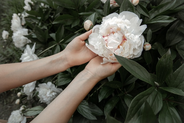 Children's hands are holding a white peony flower growing on a bush.