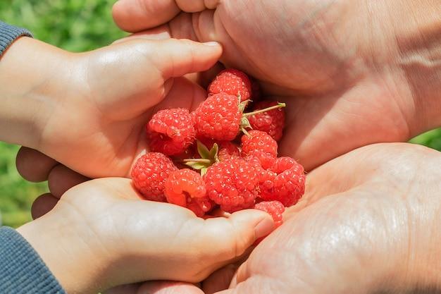 Детские руки в руках мужчин крупным планом. в руках ребенка горсть свежей малины. летняя концепция.