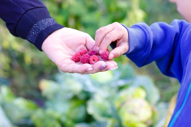Детские руки берут малину из рук взрослого