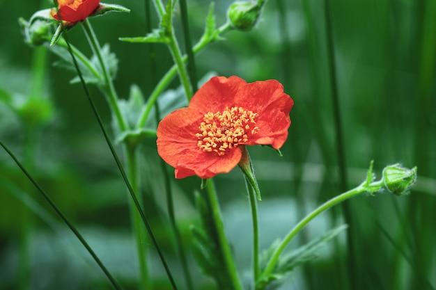 Чилийский авенс (scarlet avens, geum coccineum) красный цветок в летнем саду