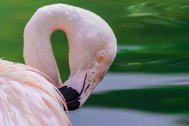 Chilean flamingo head  portrait (phoenicopterus chilensis)