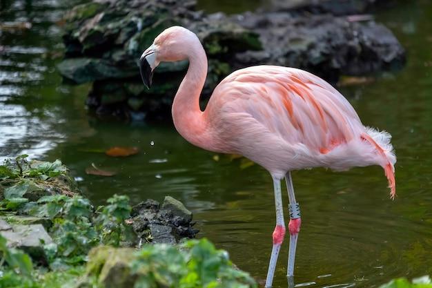 Chilean flamingo phoenicopterus chilensis