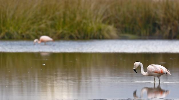 湖のほとりを歩くチリーフラミンゴ