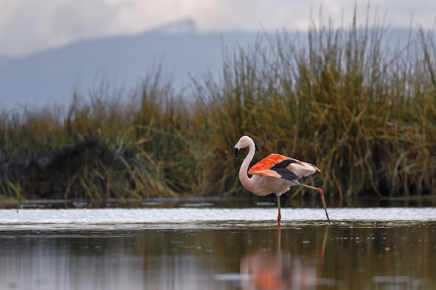Chilean flamingo walking on the shores of lake