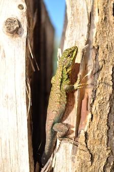 Чилийская ящерица, регион мауле