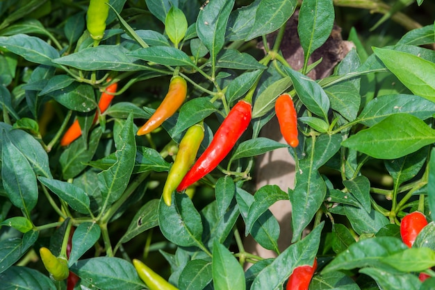 Chili grow in the garden