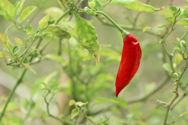 Chili pepper in garden