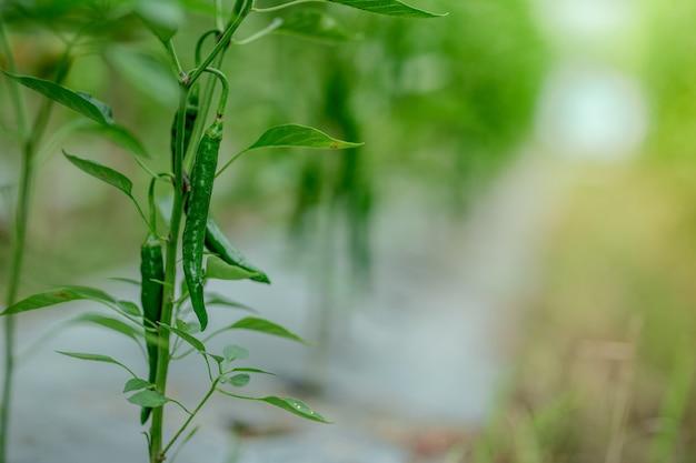 Перец чили в саду домашние экологически чистые продукты
