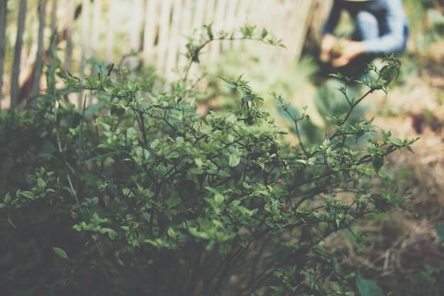 농장에서 야채를 수확하는 농부의 배경으로 정원에서 자라는 칠리 식물