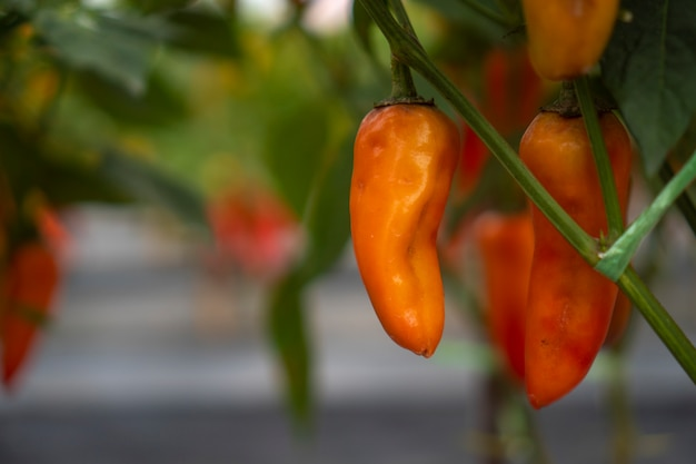 Chili planting in modern greenhouses