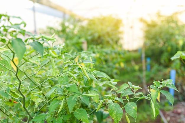 Перец чили, растущий в саду, органическая ферма плантации деревьев растений чили в теплице