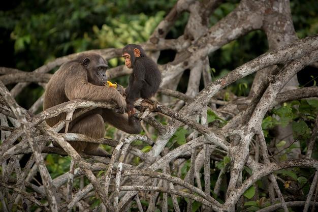 자연 서식지의 침팬지 콩고의 침팬지