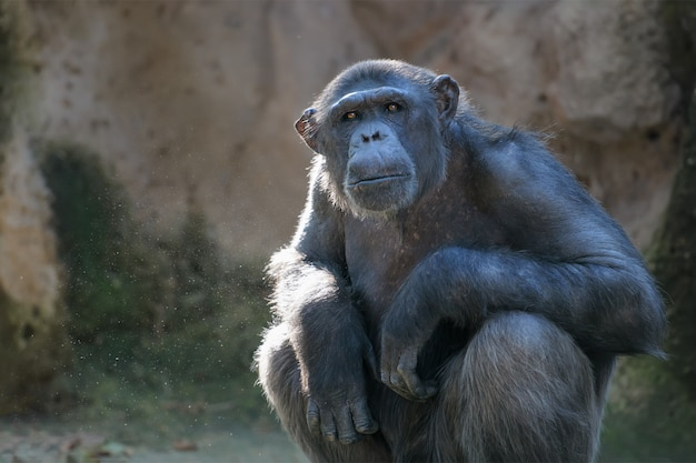 Chimpanzee looks with attention