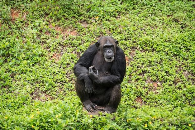 Chimpanzee mokey сидит на пеньке с травой в джунглях