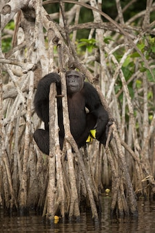 Chimpanzee in the nature habitat chimp in congo