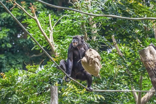 Шимпанзе на веревке с сумкой в руках