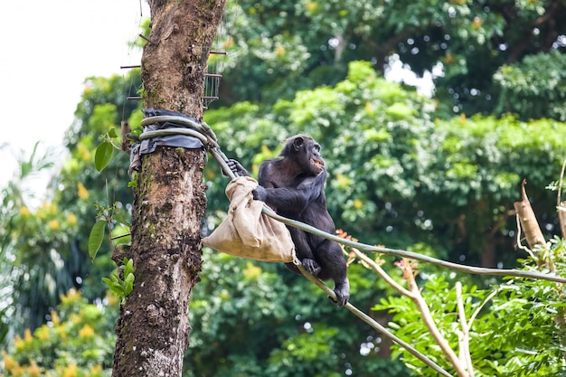 Chimpanzee on rope with bag in her hands