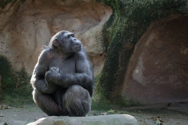 Chimpanzee sits on a rock with proud and important look