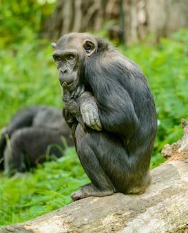 丸太の上に座って考えているチンパンジー