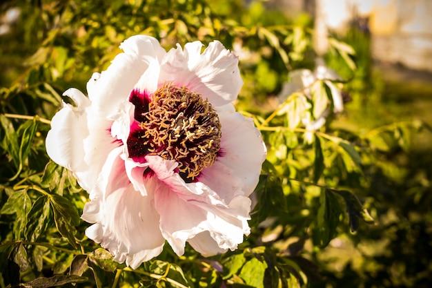 中国の牡丹の花。白い牡丹の花の束。緑の葉に囲まれた雨の後の水滴と牡丹の花。