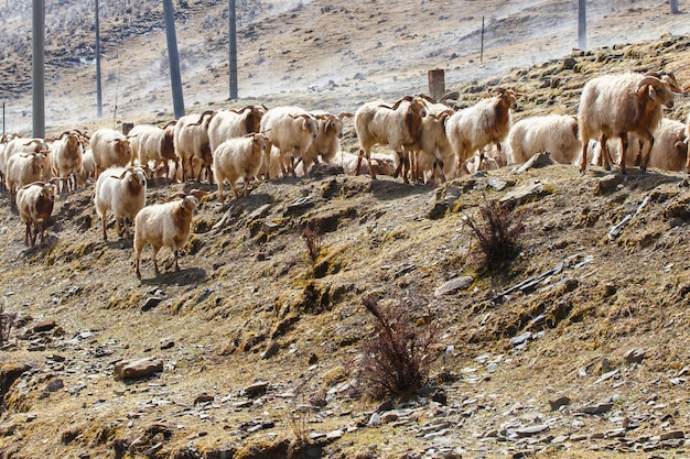 China southwest landscape snow mountain with grazing sheep and goats on fog in the sidewalk