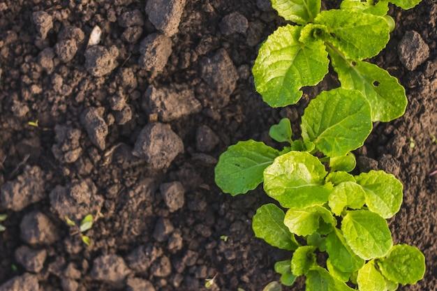 배추 묘목은 집 정원에 비가 내린 후 토양에 녹색 잎을 심습니다. 봄 시간에 가정 재배 야채.