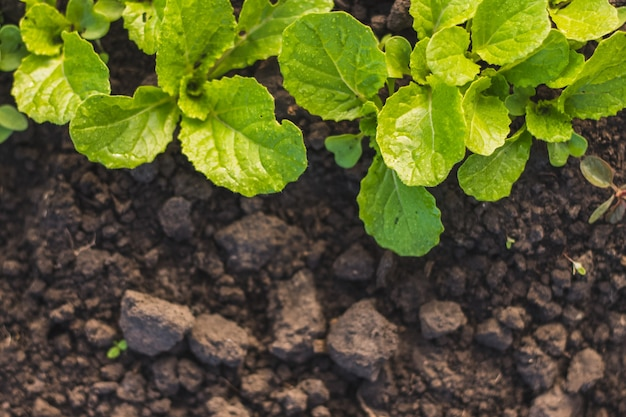Chinese cabbage seedlings young plant green leaves in soil after rain on home garden.