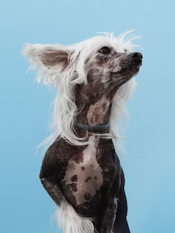 Chinese crested breed looking away and blue background