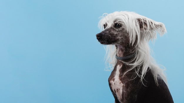 Chinese crested dog breed with copy space