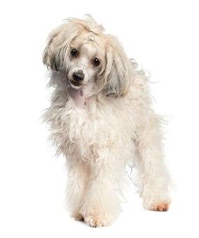 チャイニーズ・クレステッド・ドッグ-1歳のパウダーパフ。分離された犬の肖像画