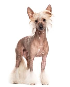 Китайская хохлатая собака стоит перед белой стеной