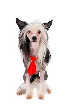 赤いクリスマスのネクタイを身に着けている中国の紋付き犬。白で隔離。