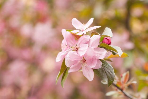 中国の開花カニリンゴ咲きます。春に咲くリンゴの木の枝にピンクの芽。