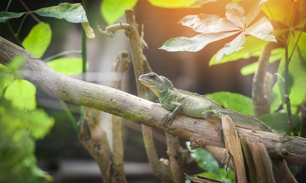 Chinese green water dragon on branch tree