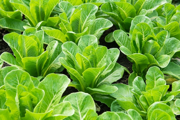 Chinese kale in vegetable garden
