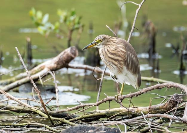 나뭇 가지에 한쪽 다리에 서있는 중국 연못 헤론 태국