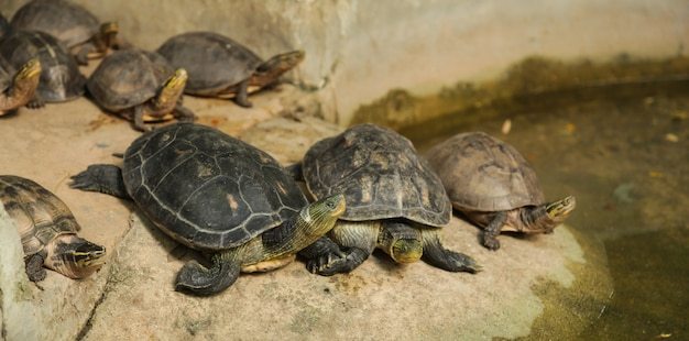 Chinese stripe-necked turtles have black yellow stripes. asian box turtles, yellow stripes