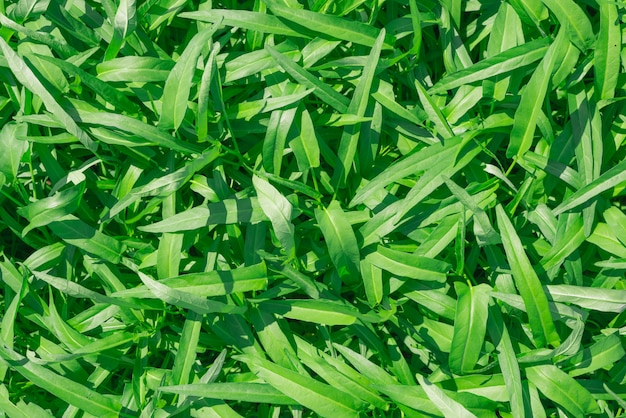 Chinese water convolvulus plant growing at outdoor farm, water spinach green leaves