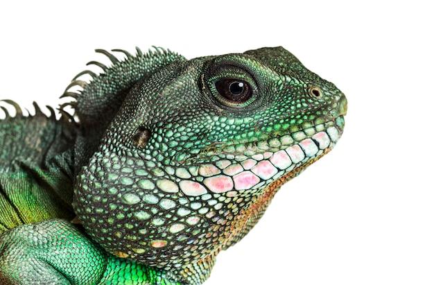 インドシナウォータードラゴン、physignathus cocincinusは、白人に対してアガマ科の種です。