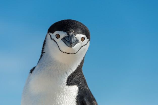 Подбородок пингвин крупным планом