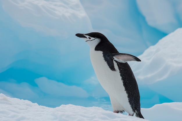 Chinstrap penguin on the ice