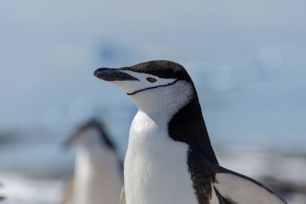 남극 대륙에서 해변에 턱 끈 펭귄을 닫습니다.