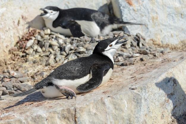 南極のビーチでヒゲペンギン