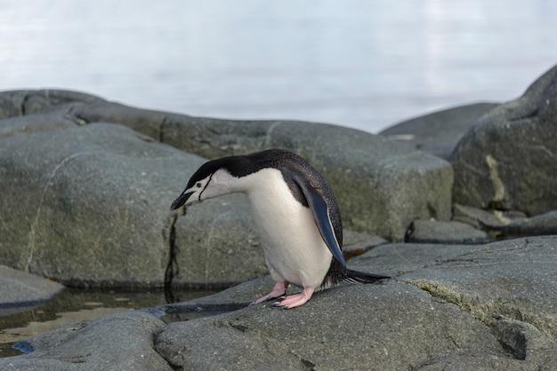 岩の上のヒゲペンギンがクローズアップ