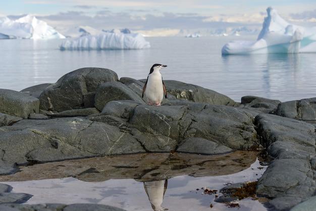 남극 대륙에 반사와 바위에 턱 끈 펭귄