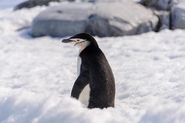 남극에서 눈에 턱 끈 펭귄