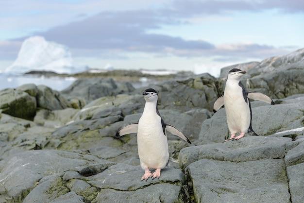 南極の雪の上のヒゲペンギン