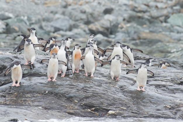 Chinstrap пингвины на пляже
