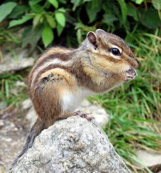 Chipmunk croissant sciuridae squirrel tamias family